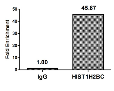 HIST1H2BN Antibody - Chromatin Immunoprecipitation Hela (4*10E6) were treated with Micrococcal Nuclease, sonicated, and immunoprecipitated with 5µg anti-HIST1H2BC (HIST1H2BC (Ab-116) Antibody) or a control normal rabbit IgG. The resulting ChIP DNA was quantified using real-time PCR with primers against the ß-Globin promoter.