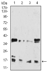 HIST2H3C Antibody - Western blot analysis using HIST2H3C(27Ac) mouse mAb against Hela (1), Lncap (2), Jurkat (3), and Jurkat (4) cell lysate.