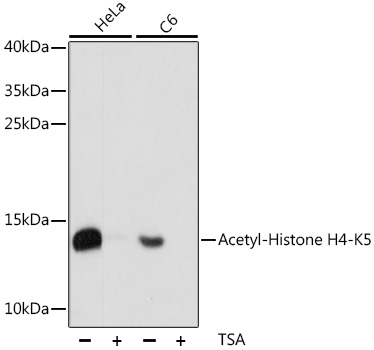 HIST2H4A Antibody - Western blot analysis of extracts of various cell lines, using Acetyl-Histone H4-K5 antibody at 1:1000 dilution. HeLa cells were treated by TSA (1uM) for 18 hours. C6 cells were treated by TSA (1uM) for 18 hours. The secondary antibody used was an HRP Goat Anti-Rabbit IgG (H+L) at 1:10000 dilution. Lysates were loaded 25ug per lane and 3% nonfat dry milk in TBST was used for blocking. An ECL Kit was used for detection and the exposure time was 30s.
