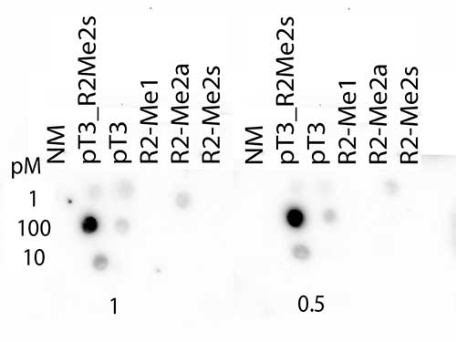 HIST3H3 Antibody - Dot Blot of rabbit Histone H3 pT3/R2Me2s Antibody. Lane 1: Unmodified. Lane 2: pT3/R2Me2s. Lane 3: pT3. Lane 4: R2Me1. Lane 5: R2Me2a. Lane 6: R2Me2s. Load: 1, 10, and 100 picomoles of peptide. Primary antibody: Histone H3 pT3/R2Me2s antibody at 1:1000 for 45 min at 4°C. Secondary antibody: RABBIT IgG (H&L) Secondary Antibody Peroxidase Conjugated Pre-adsorbed at 1:40,000 for 30 min at RT. Block: 5% BLOTTO 30 minutes at RT.