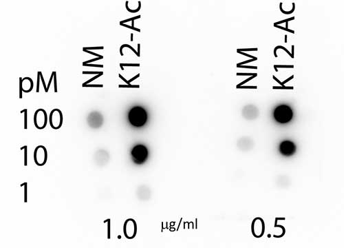 HIST4H4 Antibody - Dot Blot of rabbit Histone H4 K12-Ac (RABBIT) Antibody. Lane 1: K12 unmodified. Lane 2: K12-Acetylated. Load: 1, 10, and 100 picomoles of peptide. Primary antibody: Histone H4 K12-Ac antibody at 1:1000 for 45 min at 4°C. Secondary antibody: RABBIT IgG (H&L) Secondary Antibody HRP Conjugated at 1:40,000 for 30 min at RT. Block: 5% BLOTTO 30 minutes at RT.