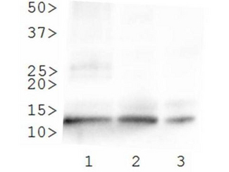 HIST4H4 Antibody - Western Blot of rabbit Anti-Histone H4 [ac Lys8] Antibody. Lane 1: HeLa histone prep. Lane 2: 3T3 histone prep. Lane 3: C. elegans embryo lysate. Load: 30 µg per lane. Primary antibody: Histone H4 [ac Lys8] at 0.2 µg/ml for overnight at 4°C. Secondary antibody: rabbit secondary antibody at 1:10,000 for 45 min at RT. Block: 5% BLOTTO overnight at 4°C. Predicted/Observed size: ~11 kDa. Other band(s): None.