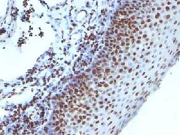 Formalin-fixed, paraffin-embedded human tonsil stained with Histone antibody (1415-1).  This image was taken for the unmodified form of this product. Other forms have not been tested.