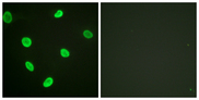 Immunofluorescence analysis of HeLa cells, using Histone H2B (Acetyl-Lys12) Antibody. The picture on the right is blocked with the synthesized peptide.