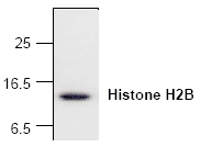 Histone H2B Antibody - Western blot of Histone H2B expression with Jurkat cell lysate.