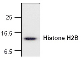 Western blot of Histone H2B expression with Jurkat cell lysate.
