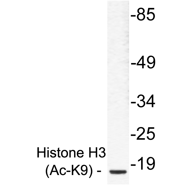 Western blot of Ac-Histone H3 (K9) pAb in extracts from RAW264.7 cells treated with TSA.