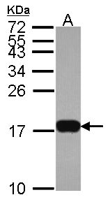 Sample (30 ug of whole cell lysate). A: Hela. 15% SDS PAGE. H3F3B antibody diluted at 1:1000.
