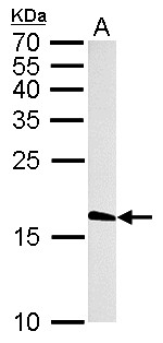 Histone H3.3B antibody detects H3F3B protein by Western blot analysis. A. 50 ug rat brain lysate/extract. 15 % SDS-PAGE. Histone H3.3B antibody dilution:1:1000