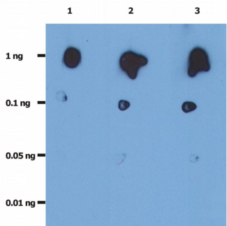 Dot Blot analysis of recombinant HIV protease.  The total amount of recombinant HIV-protease spotted on the nitrocellulose membrane are indicated in left column.  Lane 1: anti-HIV protease (1696); 0.2 µg/ml  Lane 2: anti-HIV protease (1696); 1.0 µg/ml  Lane 3: anti-HIV protease (1696); 2.0 µg/ml
