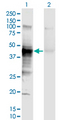 Western Blot analysis of HLA-A expression in transfected 293T cell line by HLA-A monoclonal antibody (M01), clone 2D6.Lane 1: HLA-A transfected lysate (Predicted MW: 40.8 KDa).Lane 2: Non-transfected lysate.