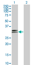 Western Blot analysis of HLA-DPA1 expression in transfected 293T cell line by HLA-DPA1 monoclonal antibody (M03), clone 1E3.Lane 1: HLA-DPA1 transfected lysate(29.3 KDa).Lane 2: Non-transfected lysate.
