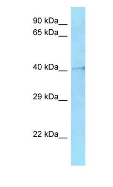 Hmces antibody Western Blot of Mouse Small Intestine. Antibody dilution: 1 ug/ml.  This image was taken for the unconjugated form of this product. Other forms have not been tested.