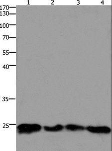 HMGB3 Antibody - Western blot analysis of 293T and HeLa cell, mouse lung and brain tissue, using HMGB3 Polyclonal Antibody at dilution of 1:400.
