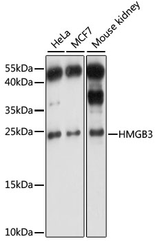 HMGB3 Antibody - Western blot analysis of extracts of various cell lines, using HMGB3 antibody at 1:1000 dilution. The secondary antibody used was an HRP Goat Anti-Rabbit IgG (H+L) at 1:10000 dilution. Lysates were loaded 25ug per lane and 3% nonfat dry milk in TBST was used for blocking. An ECL Kit was used for detection and the exposure time was 1s.