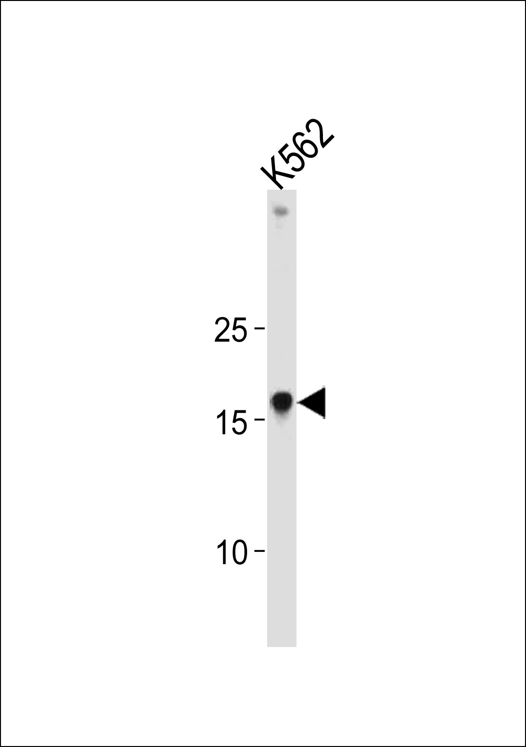 HMGA1 Antibody western blot of K562 cell line lysates (35 ug/lane). The HMGA1 antibody detected the HMGA1 protein (arrow).
