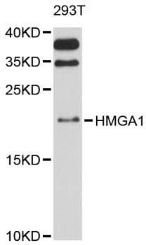 Western blot analysis of extracts of 293T cells, using HMGA1 antibody at 1:3000 dilution. The secondary antibody used was an HRP Goat Anti-Rabbit IgG (H+L) at 1:10000 dilution. Lysates were loaded 25ug per lane and 3% nonfat dry milk in TBST was used for blocking. An ECL Kit was used for detection and the exposure time was 90s.