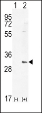 HMOX1 / HO-1 Antibody - Western blot of HMOX1 (arrow) using rabbit polyclonal HMOX1 Antibody. 293 cell lysates (2 ug/lane) either nontransfected (Lane 1) or transiently transfected (Lane 2) with the HMOX1 gene.