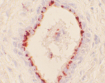 Immunohistochemistry of frozen human prostate section (stressed) stained using HO-1 (Hsp32) mAb (HO-1-2).