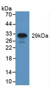 Western Blot; Sample: Human Leukocyte Cells.