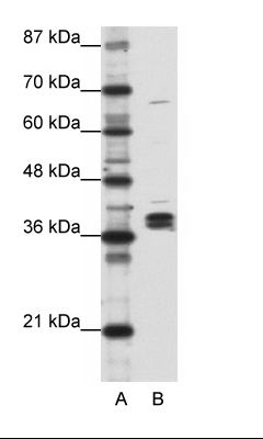 A: Marker, B: Daudi Cell Lysate.  This image was taken for the unconjugated form of this product. Other forms have not been tested.