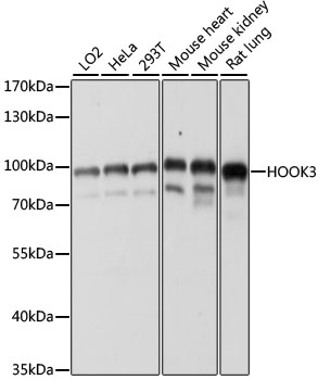 HOOK3 Antibody - Western blot analysis of extracts of various cell lines, using HOOK3 antibody at 1:1000 dilution. The secondary antibody used was an HRP Goat Anti-Rabbit IgG (H+L) at 1:10000 dilution. Lysates were loaded 25ug per lane and 3% nonfat dry milk in TBST was used for blocking. An ECL Kit was used for detection and the exposure time was 60s.