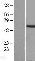 HOXA3 Protein - Western validation with an anti-DDK antibody * L: Control HEK293 lysate R: Over-expression lysate