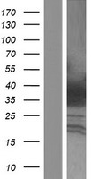 HOXA4 Protein - Western validation with an anti-DDK antibody * L: Control HEK293 lysate R: Over-expression lysate