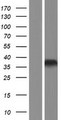 HOXB1 Protein - Western validation with an anti-DDK antibody * L: Control HEK293 lysate R: Over-expression lysate