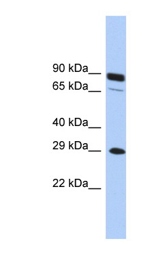 HOXC5 antibody Western blot of THP-1 cell lysate. This image was taken for the unconjugated form of this product. Other forms have not been tested.