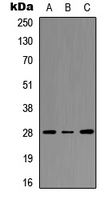 Western blot analysis of HOXC8 expression in HEK293T (A); Raw264.7 (B); PC12 (C) whole cell lysates.