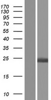 HPCA / Hippocalcin Protein - Western validation with an anti-DDK antibody * L: Control HEK293 lysate R: Over-expression lysate