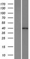 HPF1 Protein - Western validation with an anti-DDK antibody * L: Control HEK293 lysate R: Over-expression lysate