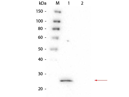 HPGDS Antibody - Western Blot of Mouse anti-GSTS1 Monoclonal Antibody. Lane 1: rGSTS1 protein. Lane 2: GST. Load: 50 ng per lane. Primary antibody: Mouse anti-GSTS1 Monoclonal Antibody at 1:1,000 overnight at 4°C. Secondary antibody: Peroxidase conjugated Rb-a-Ms IgG at 1:40,000 for 30 min at RT. Block: 0.75% Casein-TBS for 30 min at RT. Predicted/Observed size: 27 kDa, 27 kDa for GSTS1.