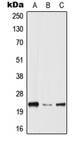 HPGDS Antibody - Western blot analysis of HPGDS expression in THP1 (A); Raw264.7 (B); PC12 (C) whole cell lysates.