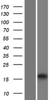 HRASLS2 Protein - Western validation with an anti-DDK antibody * L: Control HEK293 lysate R: Over-expression lysate