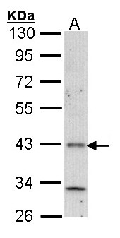 Sample (30 ug of whole cell lysate). A: A431 . 10% SDS PAGE. Histamine H4 Receptor antibody diluted at 1:1000.