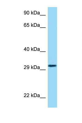 HRH4 / Histamine H4 Receptor antibody Western blot of 721_B Cell lysate. Antibody concentration 1 ug/ml.  This image was taken for the unconjugated form of this product. Other forms have not been tested.