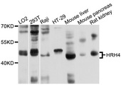 Western blot analysis of extracts of various cell lines, using HRH4 antibody at 1:1000 dilution. The secondary antibody used was an HRP Goat Anti-Rabbit IgG (H+L) at 1:10000 dilution. Lysates were loaded 25ug per lane and 3% nonfat dry milk in TBST was used for blocking. An ECL Kit was used for detection and the exposure time was 1s.