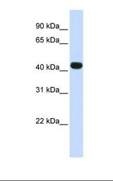 HS3ST3B1 Antibody - Fetal muscle lysate. Antibody concentration: 1.0 ug/ml. Gel concentration: 12%.  This image was taken for the unconjugated form of this product. Other forms have not been tested.