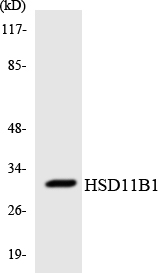 Western blot analysis of the lysates from HUVECcells using HSD11B1 antibody.