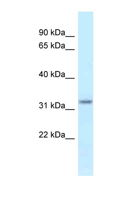 HSD17B11 antibody LS-C145865 Western blot of Mouse Kidney lysate. Antibody concentration 1 ug/ml.  This image was taken for the unconjugated form of this product. Other forms have not been tested.