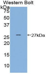 Western blot of recombinant HSF2.  This image was taken for the unconjugated form of this product. Other forms have not been tested.