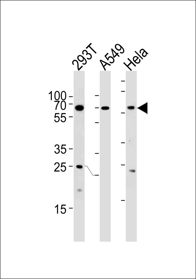 HSF2 Antibody western blot of 293T,A549,HeLa cell line lysates (35 ug/lane). The HSF2 antibody detected the HSF2 protein (arrow).