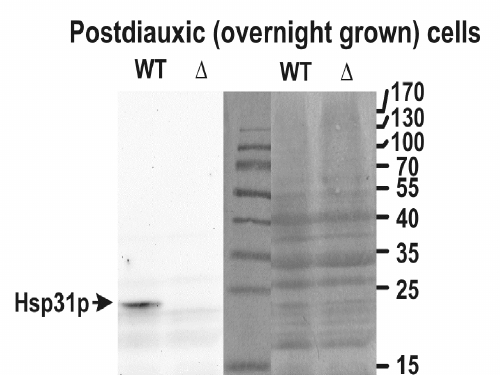HSP31 / Hsp31p Antibody - HSP31 antibody (0.05 ug/ml) staining of yeast lysate (wt) and the KO (delta) in the left panel and the Ponceau stain in the right panel (35 ug protein in RIPA buffer). Primary incubation was 1 hour. Detected by chemiluminescence. Data obtained by Dr. M. Skoneczny, IBB, Warsaw, Poland.
