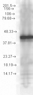 HSP40 co-chaperone YDJ1 Antibody - Hsp40, YDJ1 (1G10. H8), Recombinant YDJ1 01.1 ug per lane.  This image was taken for the unconjugated form of this product. Other forms have not been tested.