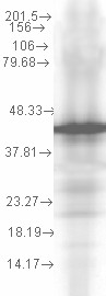 HSP40 co-chaperone YDJ1 Antibody - Hsp40 (YDJ1-2A7. H6), 0.1 ug per lane.  This image was taken for the unconjugated form of this product. Other forms have not been tested.