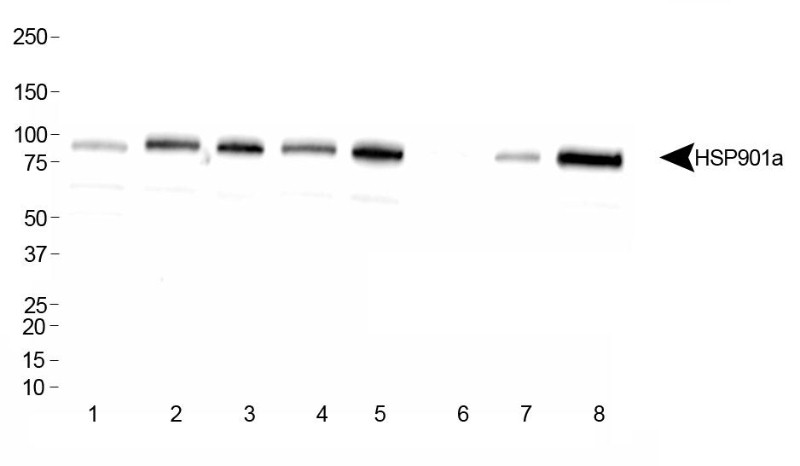 Western Blot: Hsp90A Antibody - Analysis of HSP901a in: 1. HeLa, 2. Ntera2, 3. A431, 4. HepG2, 5. MCF7, 6. NIH/3T3, 7. PC12, 8. COS7.  This image was taken for the unconjugated form of this product. Other forms have not been tested.