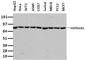 Western blot of extracts (35 ug) from 9 different cell lines by using anti-HSP90AB1 monoclonal antibody.