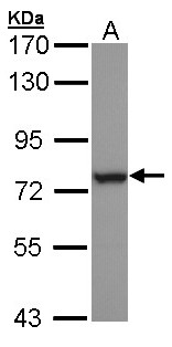 Sample (30 ug of whole cell lysate). A: H1299. 7.5% SDS PAGE. HSPA6 antibody diluted at 1:1000